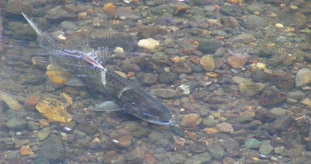 Salmon in Sonoma Creek, Part II