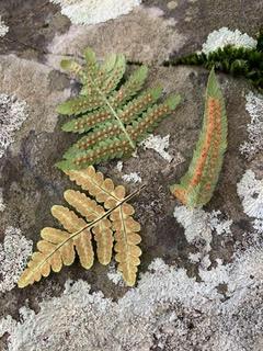 Ferns & Friends @ Sugarloaf Ridge State Park | Kenwood | California | United States