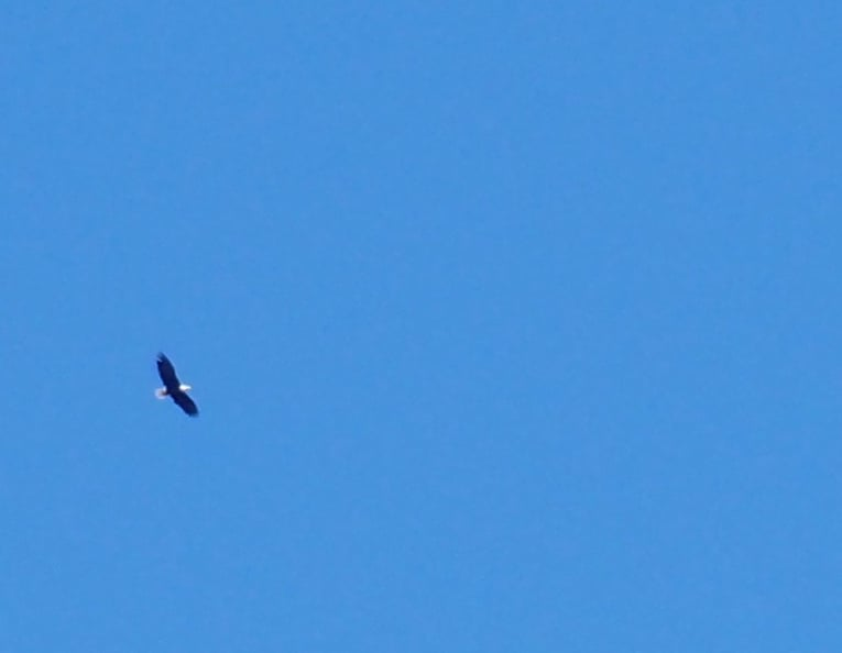Bald Eagle over Montini