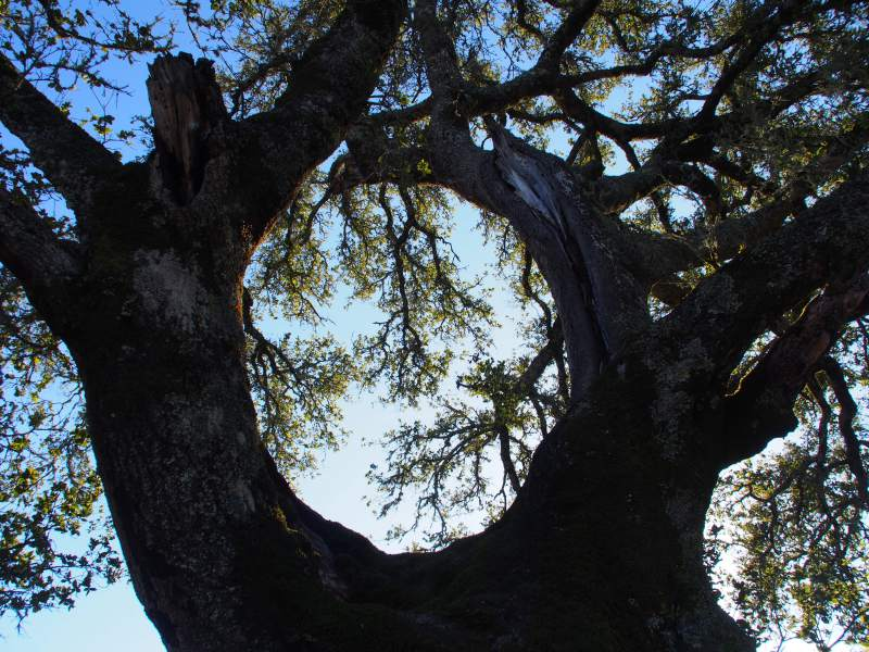 Ode to a Sugarloaf Oak