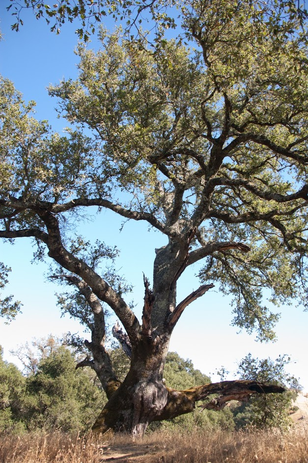 Grandmother Oak Farewell @ Sugarloaf Ridge State Park's McCormick Addition