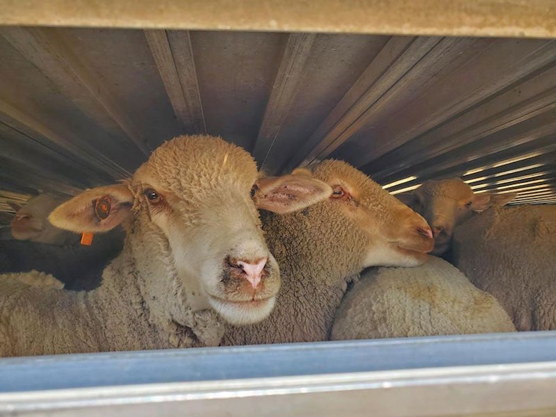 Counting Sheep at Montini