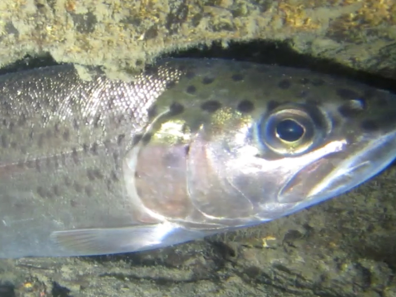 Under the Surface of Sonoma Creek (Video)