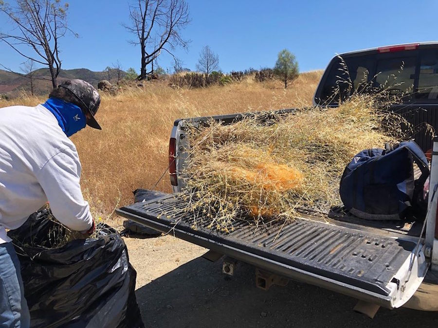 Removing Our Region's Worst Invasive Weed