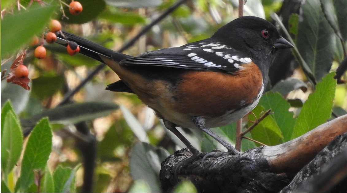 CNC Weekend at Sugarloaf: Birding Walk @ Sugarloaf Ridge State Park
