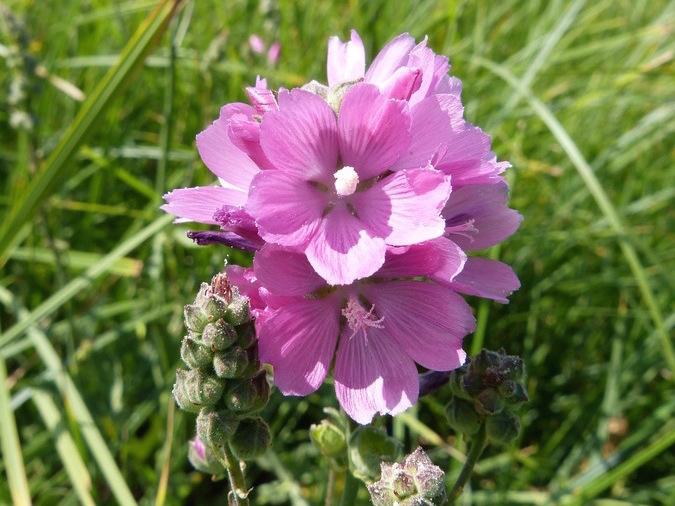 Can Sonoma Valley Save the Kenwood Marsh Checkerbloom?