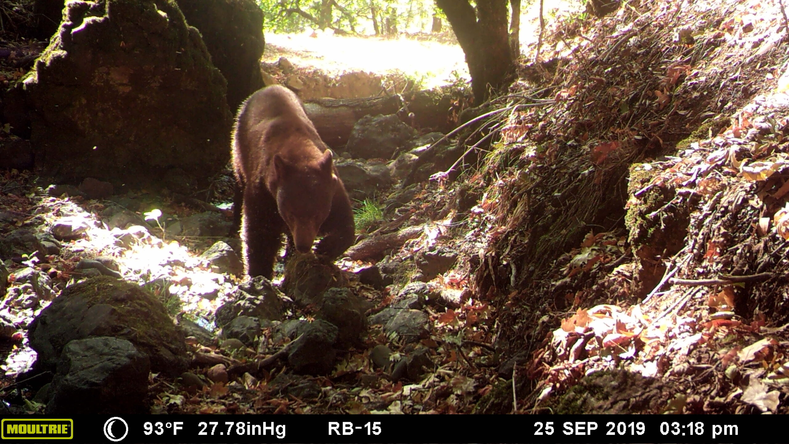 Bears in Sonoma County @ Sugarloaf Ridge State Park